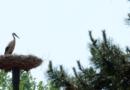 Čáp bílý - hnízdo v Jistebníku