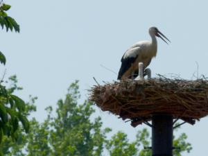 Čáp bílý s mláďaty - hnízdo v Jistebníku